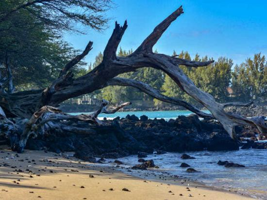 Fallen tree and rugged terrain @ Waialea Beach